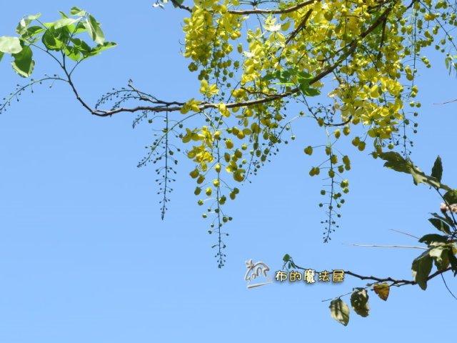 還有很多粒粒(花苞).摁.開起來還很有空間.其實.我不得不嫌一下這種樹.也不知道是沒有整理.還是豬腸豆的關係.長起來.整體來看.很雜亂.一點章法都沒有.大部分看到的都是亂竄.亂長.不過.開成一串的花.像風鈴一樣.也是漂亮.--#GoldenShowerTree #Blossom (#同盟路 #TongmengRd.#高雄醫學大學 對面.#KaohsiungMedicalUniversity)(post by #高雄 #Kaohsiung #台灣 #Taiwan #布的魔法屋 #patchwork@quilterdiycandy)170509-阿勃勒.花苞.無章法IMG_6388