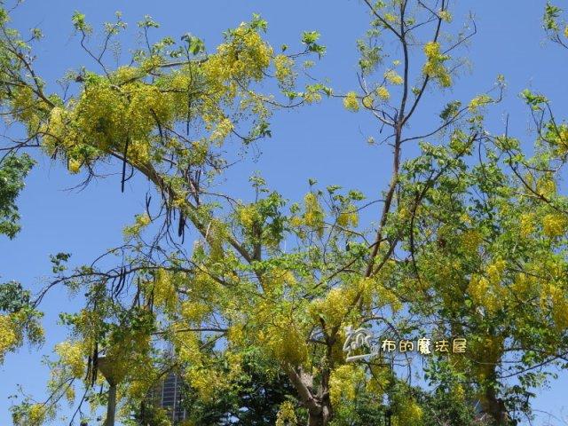 還有很多粒粒(花苞).摁.開起來還很有空間.其實.我不得不嫌一下這種樹.也不知道是沒有整理.還是豬腸豆的關係.長起來.整體來看.很雜亂.一點章法都沒有.大部分看到的都是亂竄.亂長.不過.開成一串的花.像風鈴一樣.也是漂亮.--#GoldenShowerTree #Blossom (#同盟路 #TongmengRd.#高雄醫學大學 對面.#KaohsiungMedicalUniversity)(post by #高雄 #Kaohsiung #台灣 #Taiwan #布的魔法屋 #patchwork@quilterdiycandy)170509-阿勃勒.花苞.無章法IMG_6456