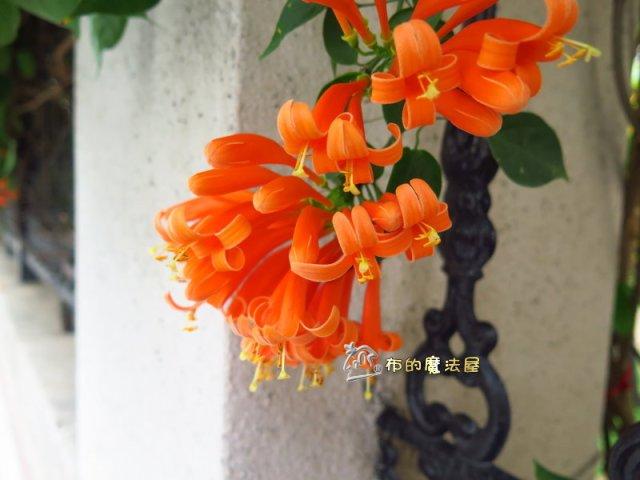 180306-正興國中.炮仗花IMG_3765